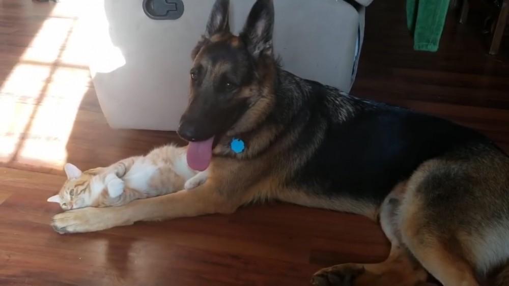 ジャーマンシェパード犬と子猫は、大親友♡ 〜ちょっとビビリな大型犬と活発な子猫ちゃんの、友情の記録〜