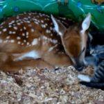 まるで親子♡子鹿と子猫のらぶらぶ映像♡とっても可愛い♪