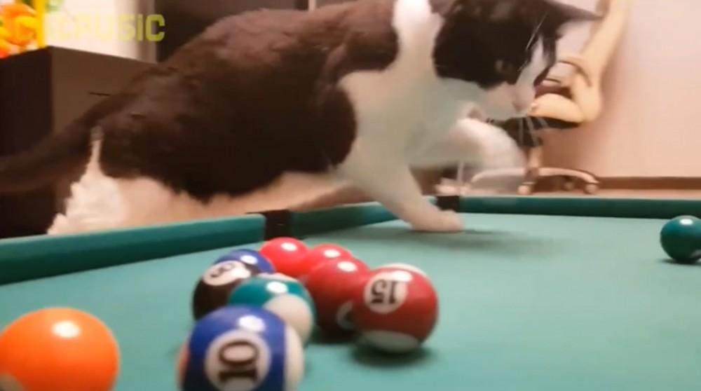 ビリヤードをする賢い猫ちゃん!猫ちゃんの真剣な眼差しに惚れてしまいそう!?
