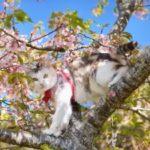 桜の木に登る猫ちゃん!「お花見は楽しいにゃ」!満開の桜と菜の花を満喫!