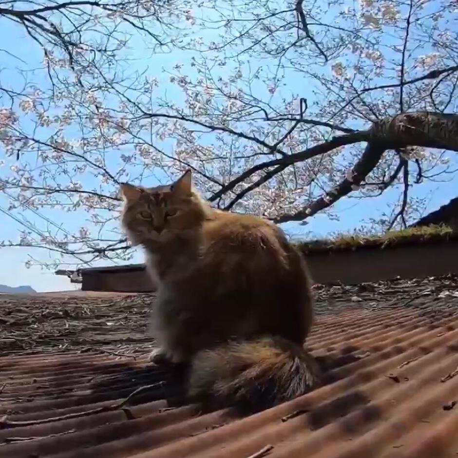 「今日は花見客が多いニャン」!お花見スポットでくつろぐ猫ちゃんが可愛い♡