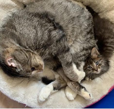 孤児の子猫達を新しい人生に送り出す虐待から救出されたシニア猫